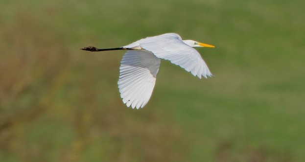 Great White Egret, Summer Leys LNR, 29th December 2015 (Martin Swannell)