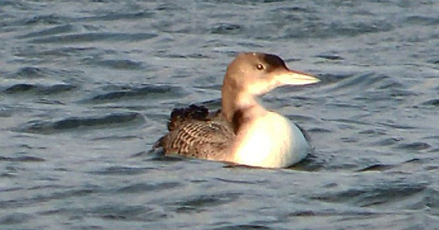 Juvenile Great Northern Diver, Ditchford GP, 29th December 2015 (Mike Alibone)