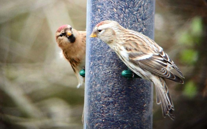 Mealy Redpoll, East Hunsbury, Northampton, 27th December 2015 (Mike Alibone)