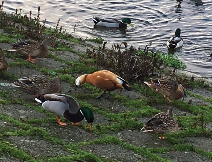Ruddy Shelduck, Sywell CP, 20th December 2015 (Charlie Bridgeford)