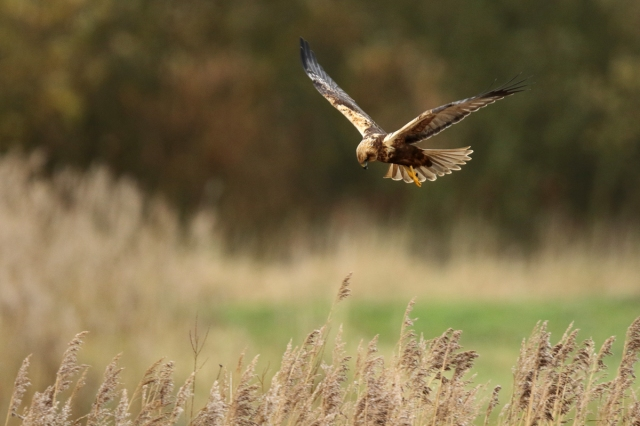 Second calendar year male Marsh Harrier, Summer Leys LNR, 28th November 2015 (Mark Tyrrell)