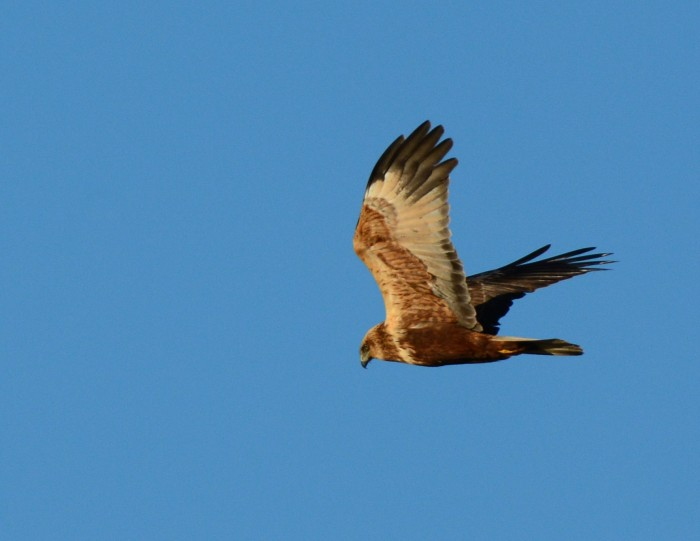 Second calendar year male Marsh Harrier, Summer Leys LNR, 9th December 2015 (Clive Bowley)
