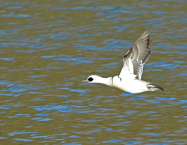 Smew, Pitsford Res, 9th December 2015 (Clive Bowley)
