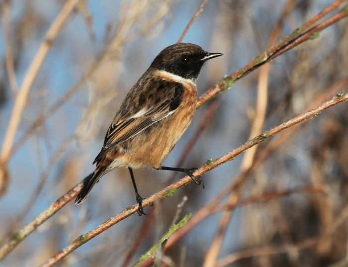 Stonechat, Pitsford Res, 29th December 2015 (Alan Coles)