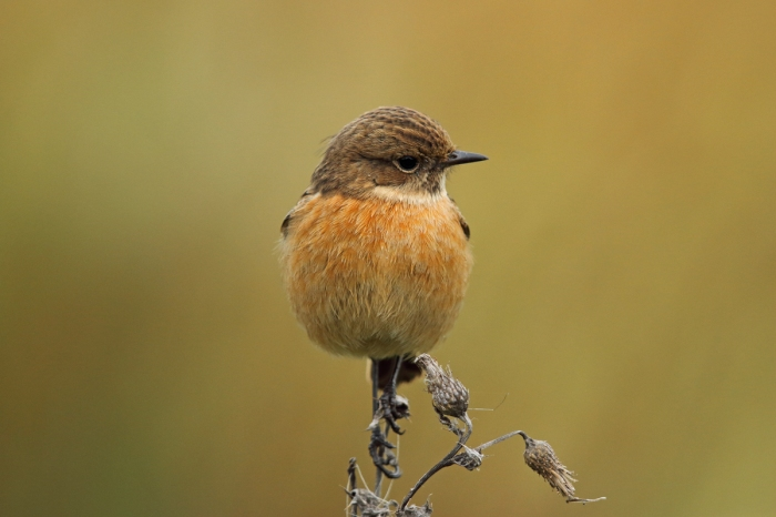 Stonechat, Summer Leys LNR, 28th November 2015 (Mark Tyrrell)