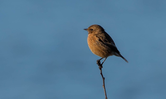 Stonechat, Summer Leys LNR, 29th December 2015 (Martin Swannell)