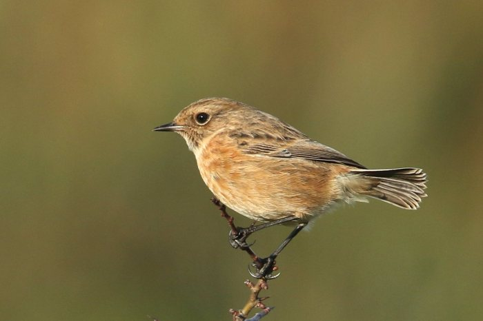 Stonechat, Summer Leys LNR, 9th December 2015 (Bob Bullock)