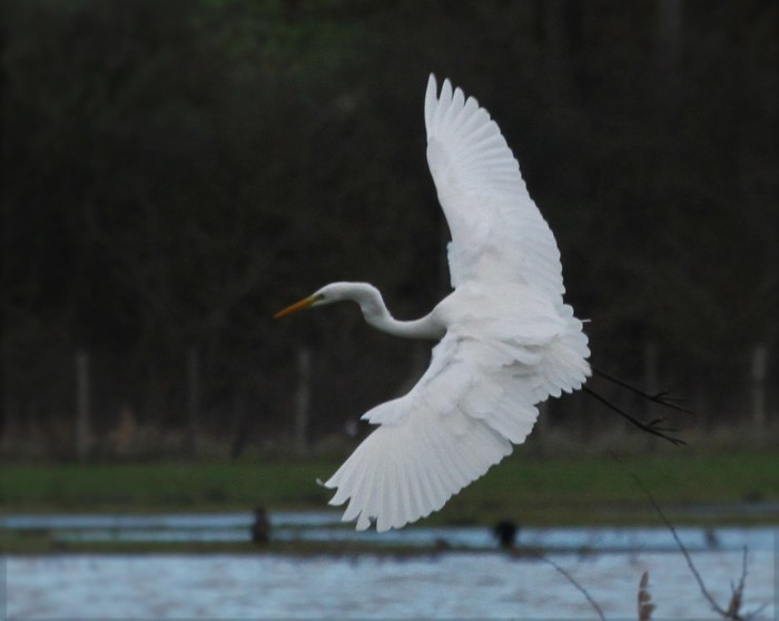 Great White Egret, Summer Leys LNR, 10th January 2016 (Alan Coles)