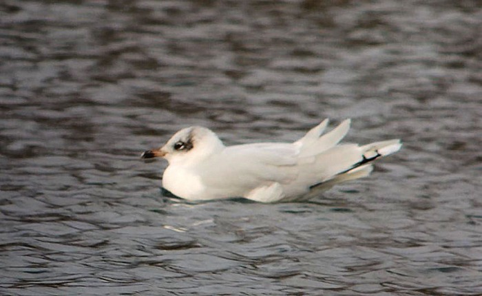 Second-winter Mediterranean Gull, Hardingstone GP, 14th January 2015 (Mike Alibone)