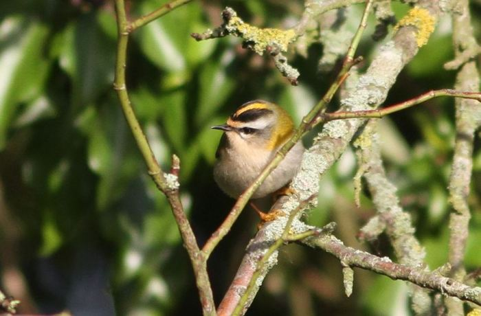 Firecrest, Brixworth, 8th January 2016 (Bob Bullock)