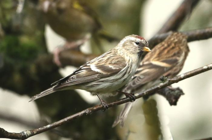 Mealy Redpoll, East Hunsbury, Northampton, 7th January 2016 (Bob Bullock)