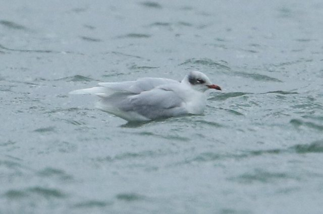 Adult Mediterranean Gull, Ravensthorpe Res, 26th January 2016 (Bob Bullock)