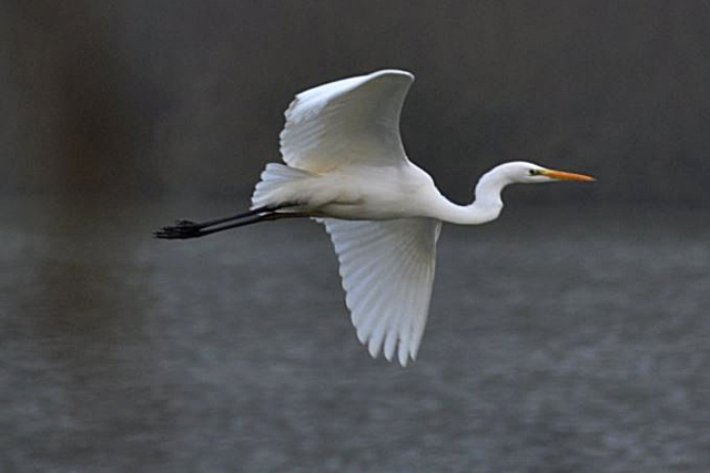 Great White Egret, Ravensthorpe Res, 23rd January 2016 (Stuart Mundy)