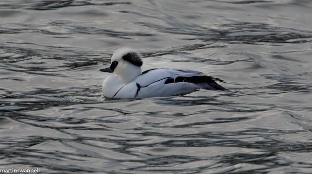 Smew, Pitsford Res, 21st January 2016 (Martin Swannell)