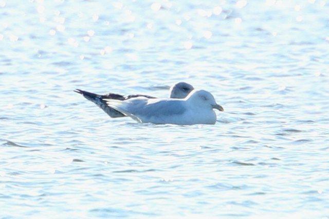 Adult Glaucous Gull, Stanwick GP, 23rd February 2016 (Bob Bullock)