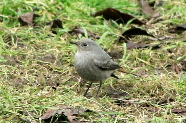 Black Redstart, Northampton, 13th February 2016 (Bob Bullock)