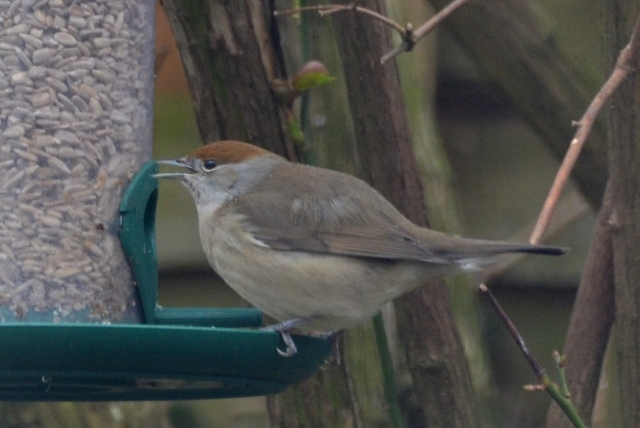 Central European Blackcap, Duston, 13th February 2016 (Stuart Mundy)