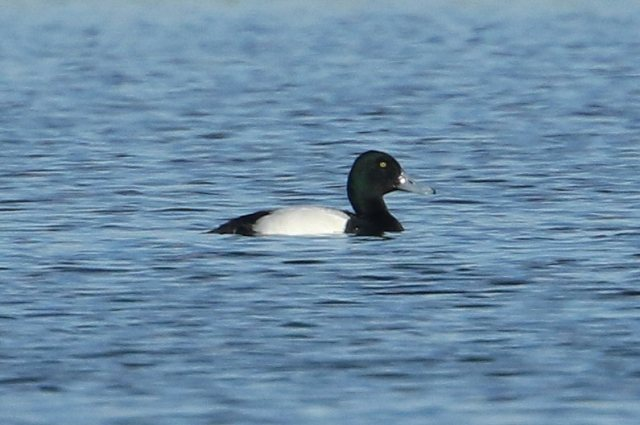 Drake Scaup, Earls Barton GP, 24th February 2016 (Bob Bullock)