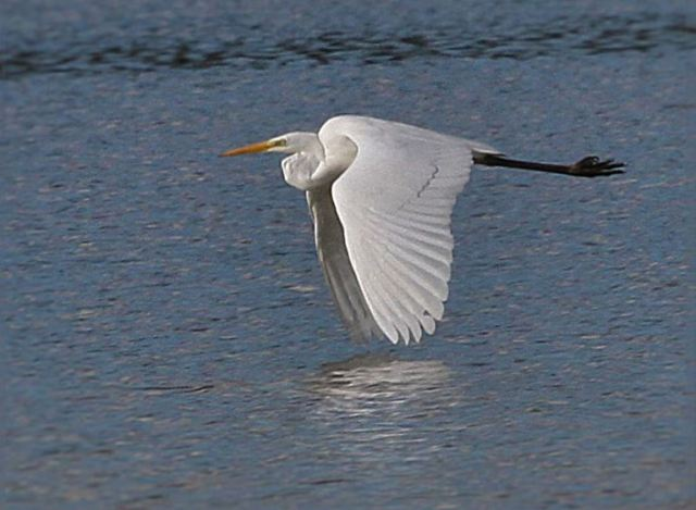Great White Egret, Summer Leys LNR, 11th February 2016 (Alan Coles)