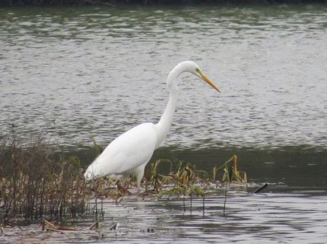 Great White Egret, Thrapston GP, 13th February 2016 (Alan Francis)