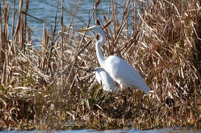 Great White Egret, Thrapston GP, 19th February 2016 (Dave Holden)