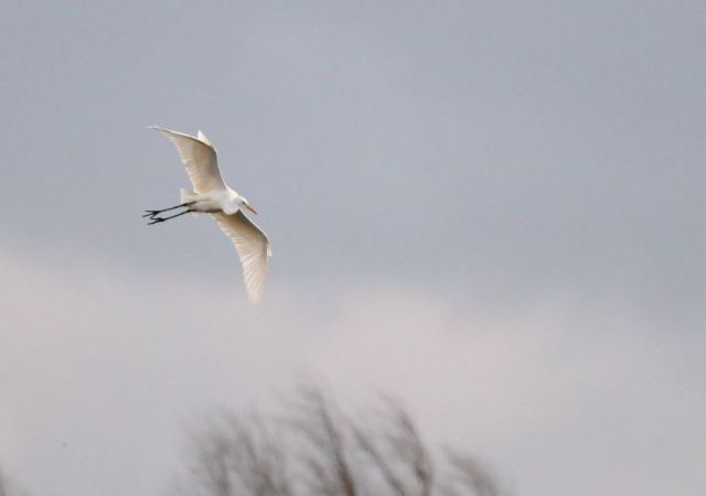 Great white Egret, Thrapston GP, 21st February 2016 (Mark Tyrrell)