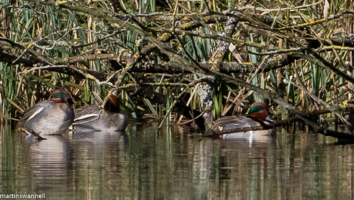 Green-winged Teal, Daventry CP, 15th February 2016 (Martin Swannell)