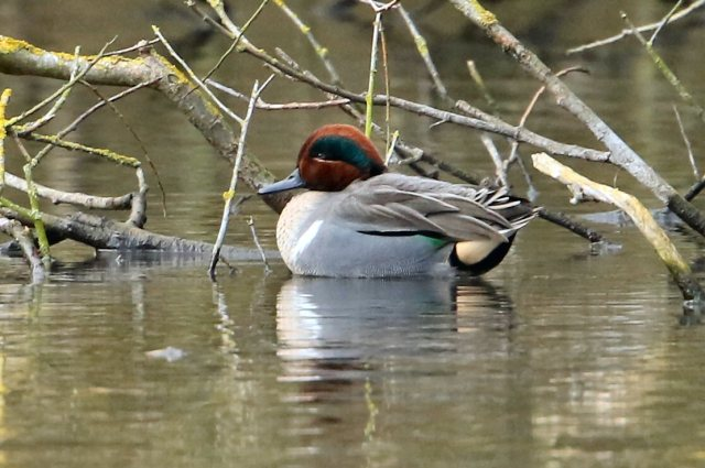 Green-winged Teal, Daventry CP, 3rd February 2016 (Bob Bullock)