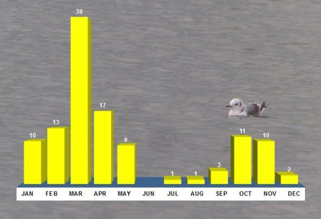 Northamptonshire Kittiwakes 1996-2015. Totals reflect records, rather than individual birds. Background image first-winter Kittiwake, Daventry CP, 7th April 2012 (Mike Alibone)