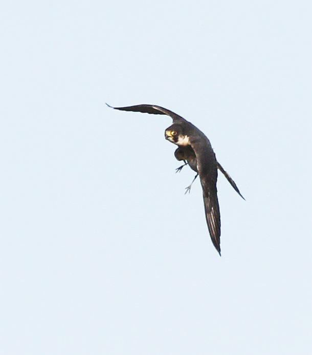 Peregrine with Golden Plover, Summer Leys, 2nd February 2016 (Alan Coles)
