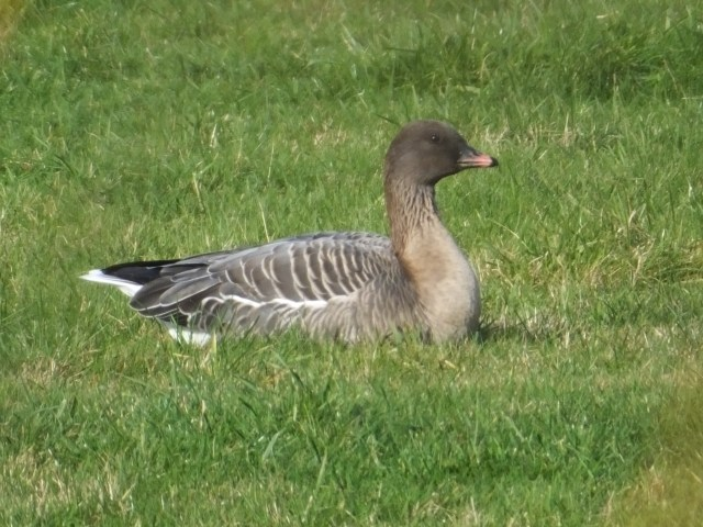 Pink-footed Goose, Summer Leys LNR, 14th February 2016 (Douglas Goddard)