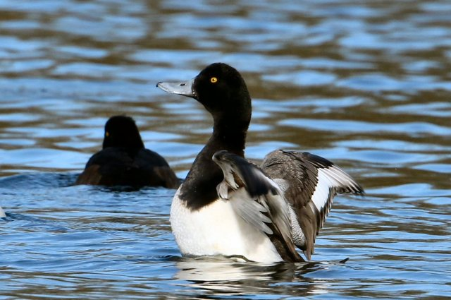 Scaup, Hardingstone GP, 16th February 2016 (Bob Bullock)