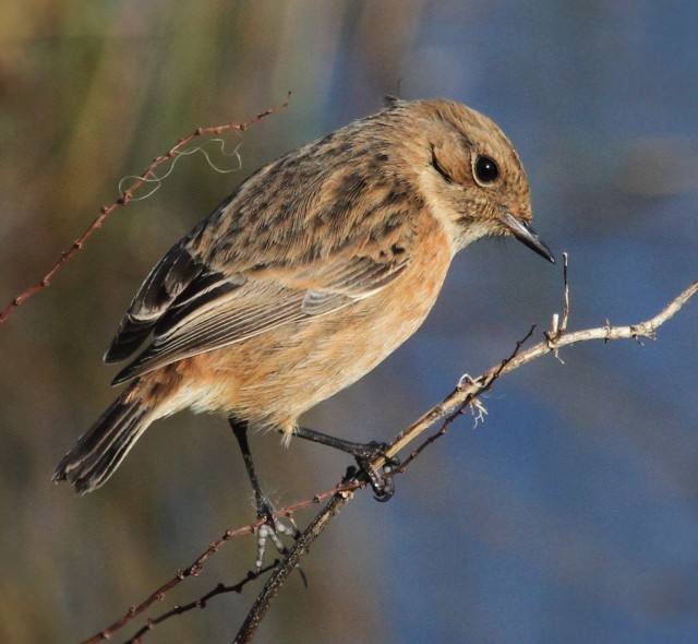 Stonechat, Summer Leys LNR, 18th February 2016 (Alan Coles)