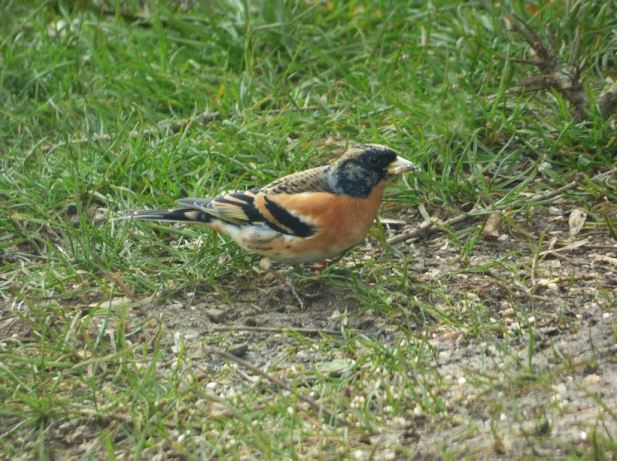 Brambling, Thornby, 12th March 2016 (John Hallam)