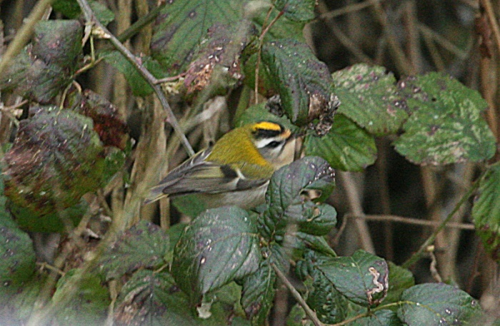 Firecrest, Stanwick GP, 8th March 2016 (Steve Fisher)