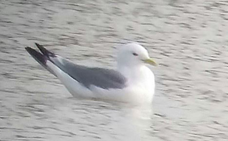 Kittiwake, Summer Leys LNR, 12th March 2016 (Adrian Borley)
