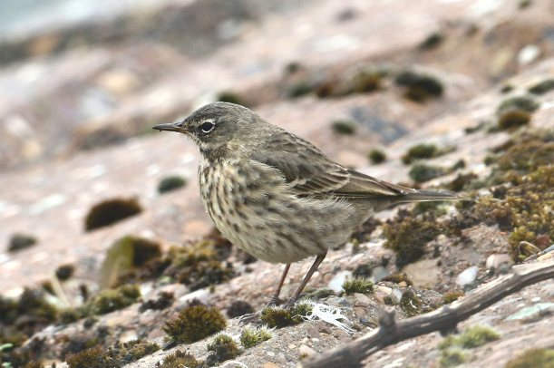 Rock Pipit, Pitsford Res, 18th March 2016 (Bob Bullock)