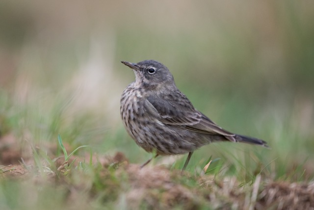 Rock Pipit, Pitsford Reservoir, 19th March 2016 (Angus Molyneux)