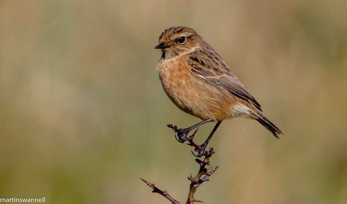 Stonechat, Summer Leys LNR, 6th March 2016 (Martin Swannell)