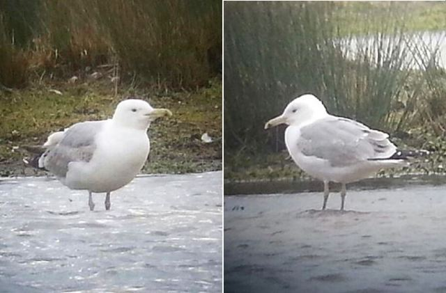 Third-winter Caspian Gull, Stanwick GP, 7th and 8th March 2016 (Steve Fisher)