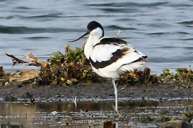 Avocet, Stanwick GP, 3rd April 2016 (Bob Bullock)