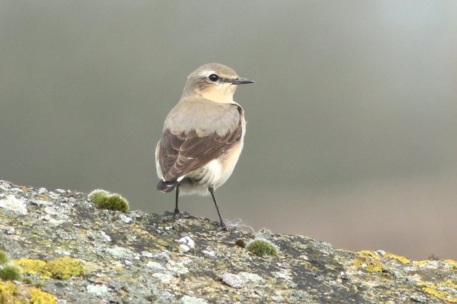 Northern Wheatear, Harrington AF, 4th April 2016 (Bob Bullock)