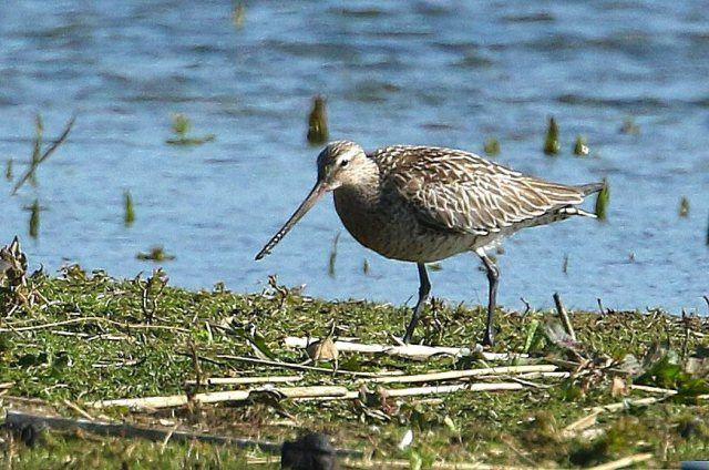 Bar-tailed Godwit, Summer Leys LNR, 20th April 2016 (Bob Bullock)