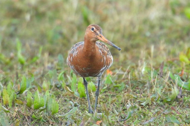 Black-tailed Godwit, Summer Leys LNR, 9th April 2016 (Bob Bullock)