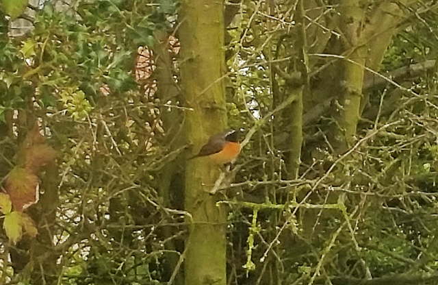 Common Redstart, Brackley, 21st April 2016 (Gary Mears)