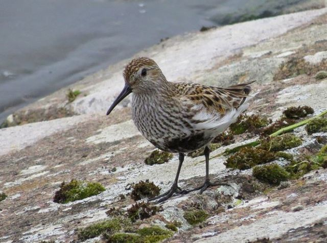 Dunlin, Pitsford Res, 18th April 2016 (Alan Francis)