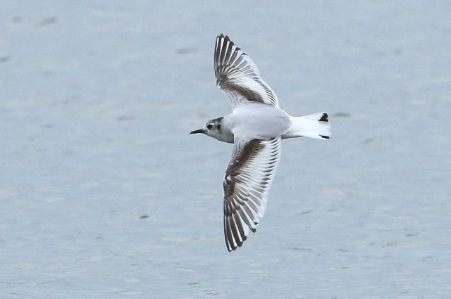 First-summer Little Gull, Earls Barton GP, 12th April 2016 (Bob Bullock)