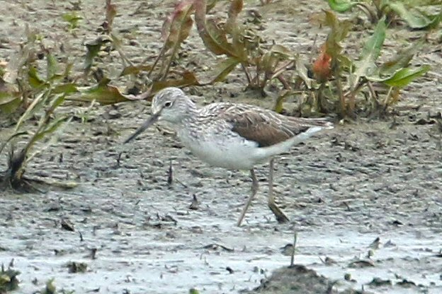 Greenshank, Summer Leys LNR, 22nd April 2016 (Bob Bullock)
