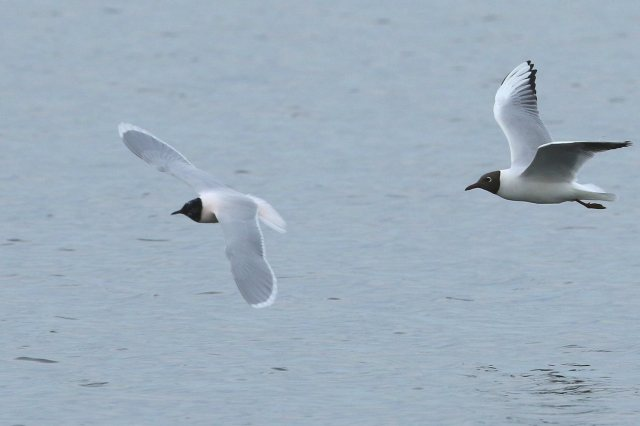 Little Gull and Black-headed Gull, Earls Barton GP, 12th April 2016 (Bob Bullock)