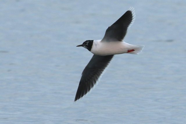 Little Gull, Earls Barton GP, 12th April 2016 (Bob Bullock)